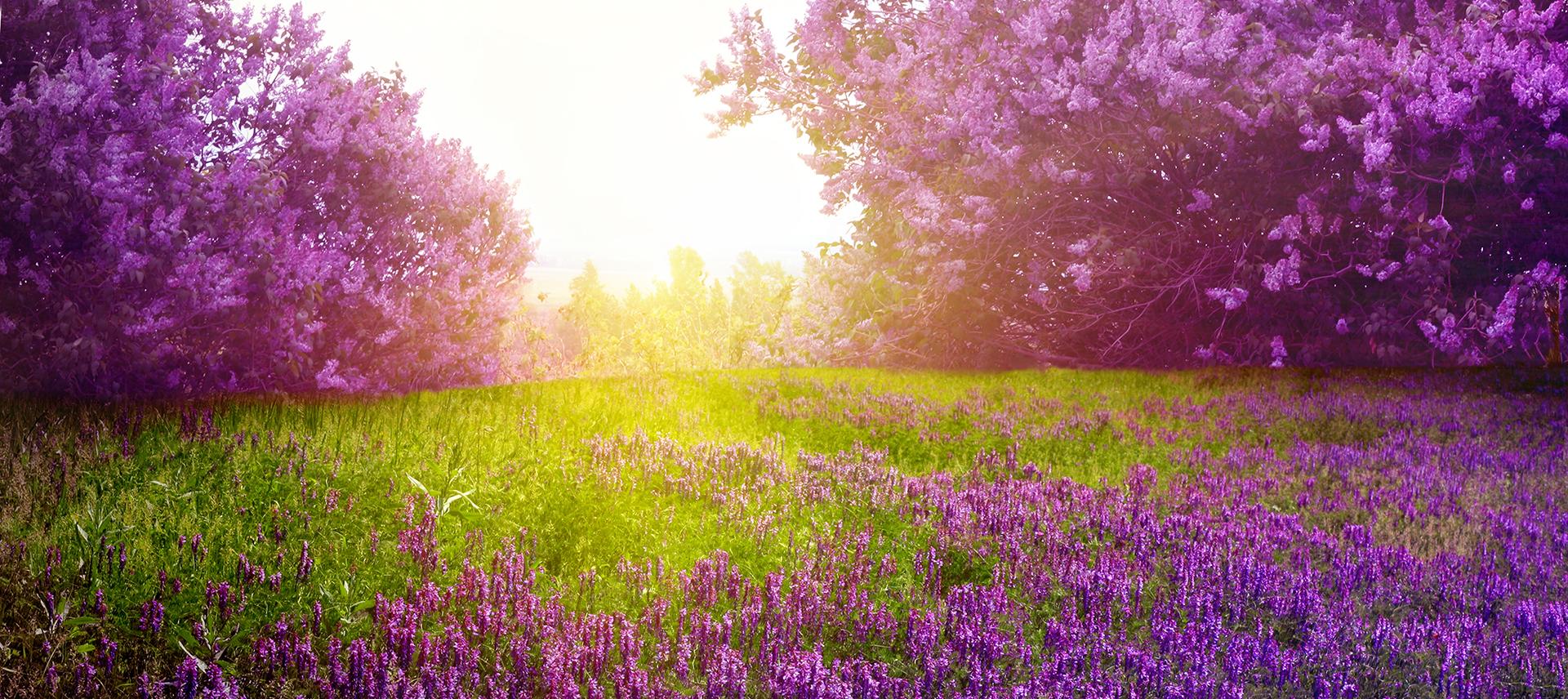 Romantic Lavender Background Banner Romantic Lavender