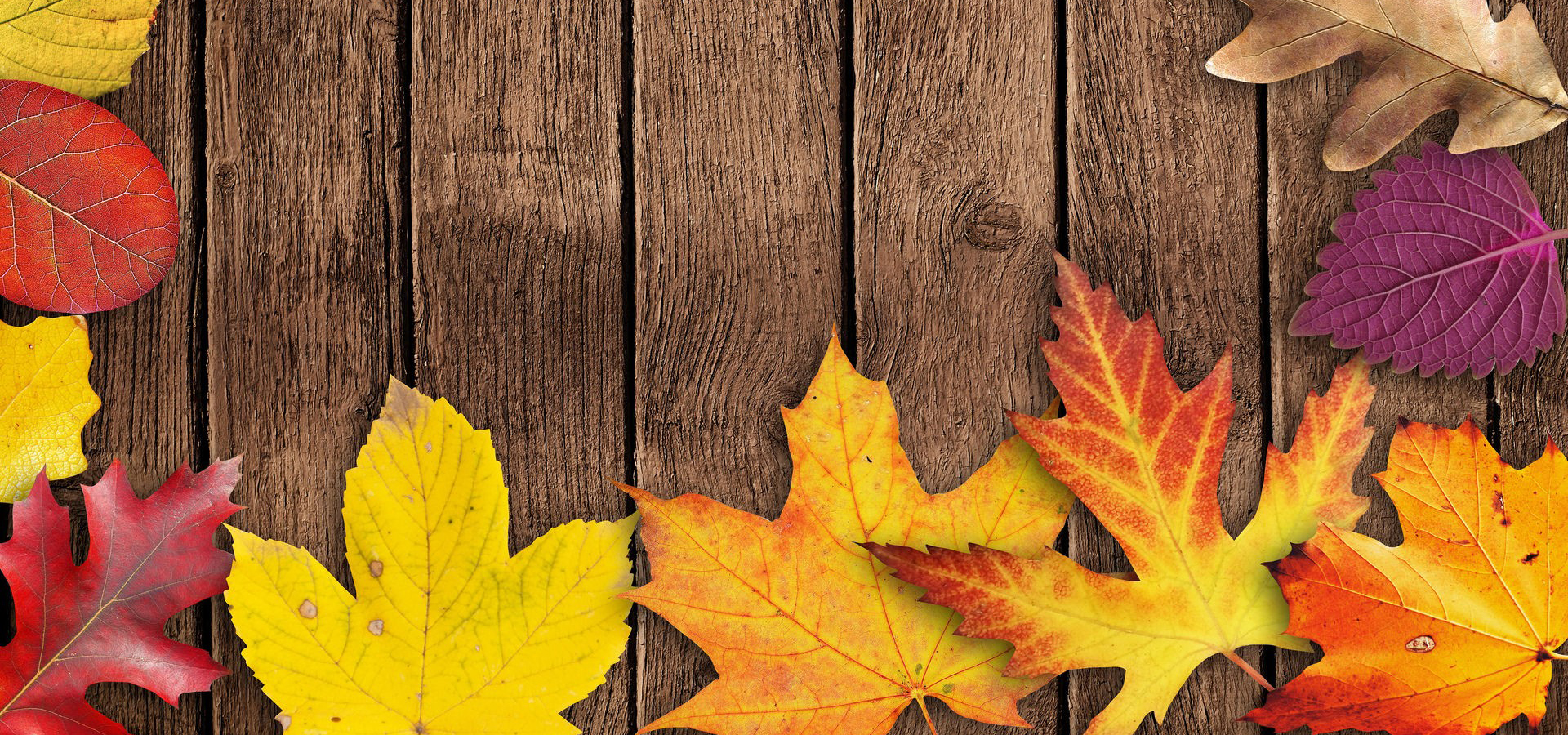 maple autumn fall leaves background  yellow  season  orange background image for free download