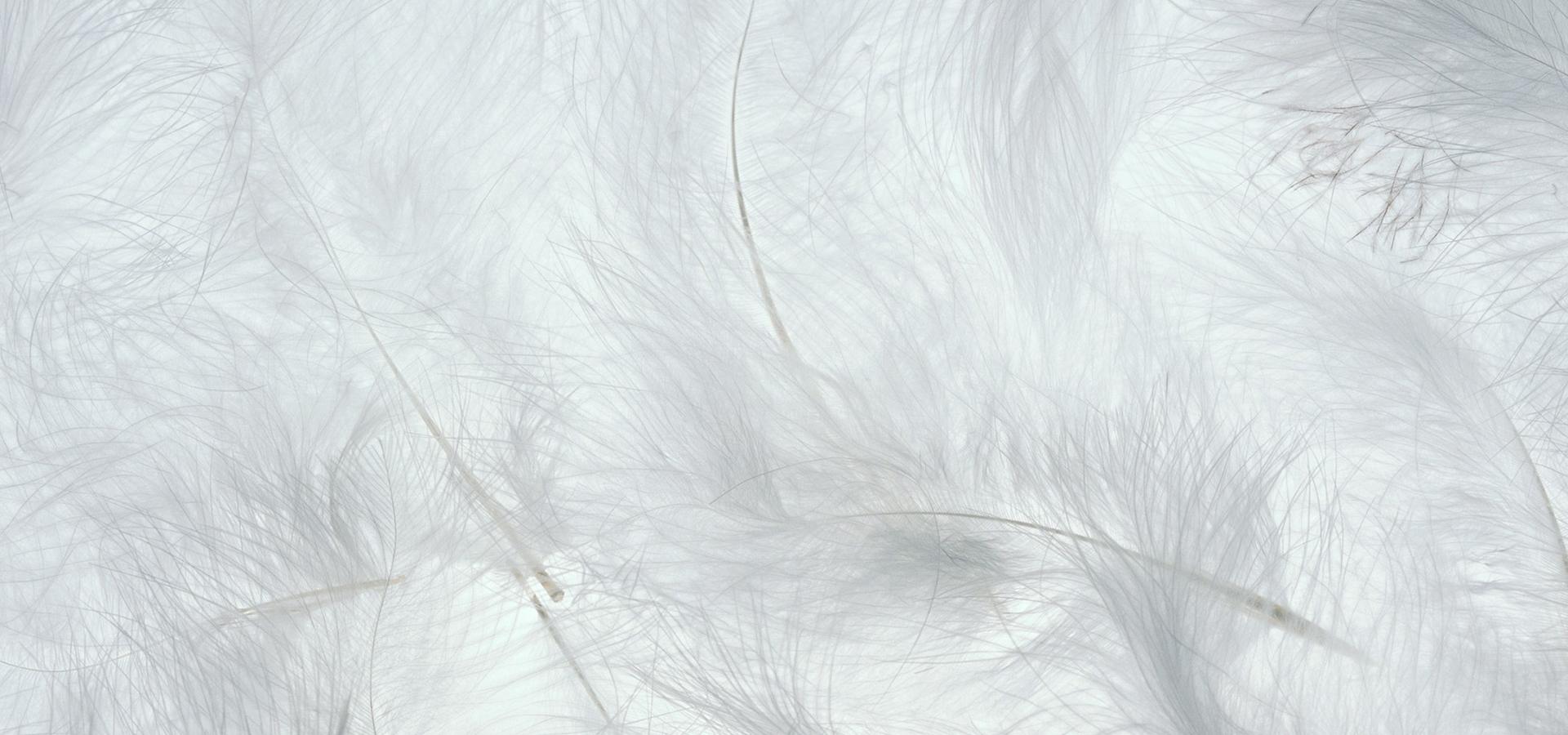 dans le contexte de la plume blanc plume banni u00e8re d