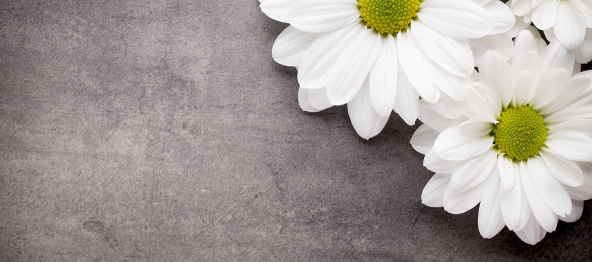 fresh margaritas blancas fondo blanco daisy antecedentes
