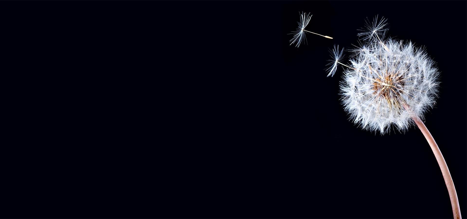 fond noir de graines de pissenlit flocon pissenlit flocon