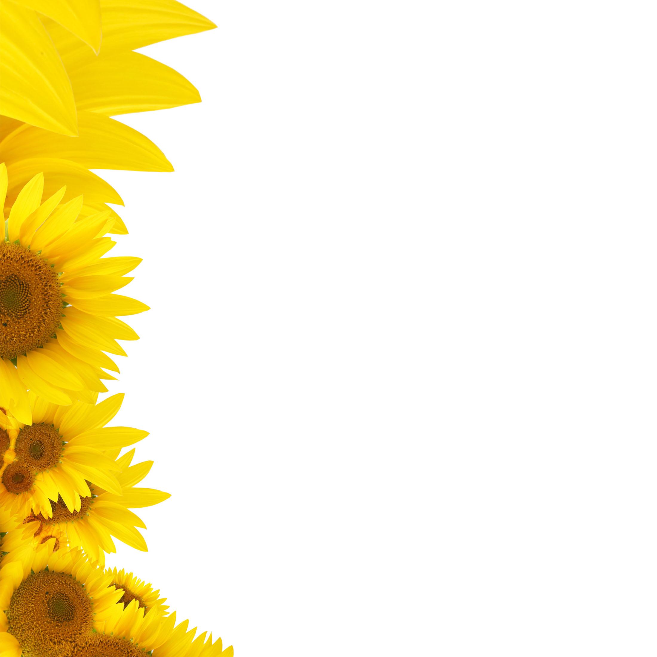 le tournesol fleur le jaune plante contexte  blossom