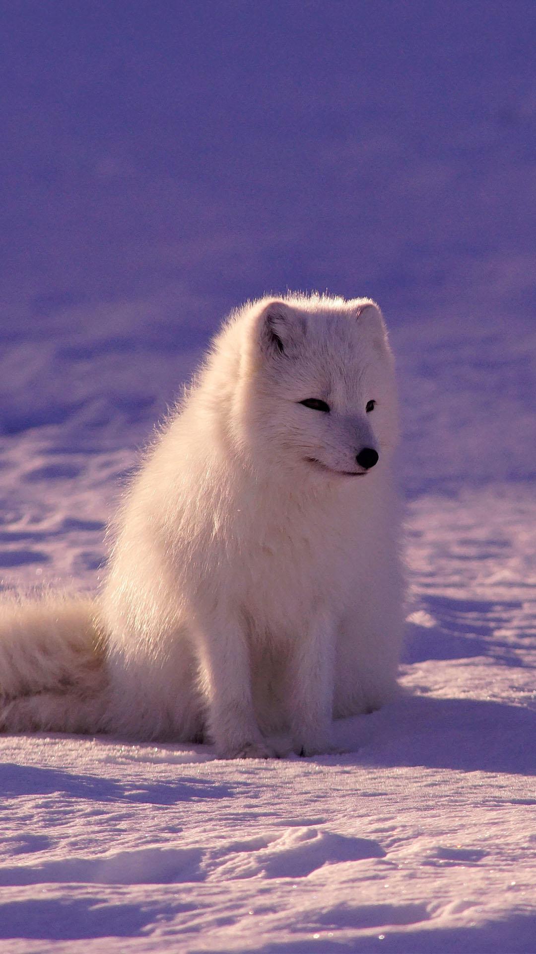 Pellicce Di Volpe Artica Fox Canino Di Sfondo Mammifero Gatto