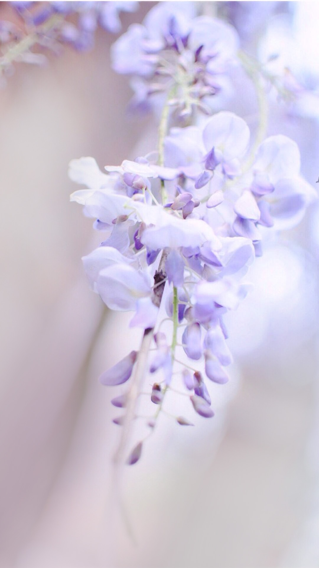 light purple flowers background  flower  flowers  clear background image for free download
