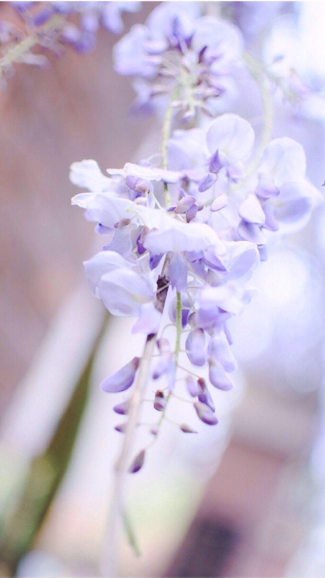 light purple flower - 650×1155
