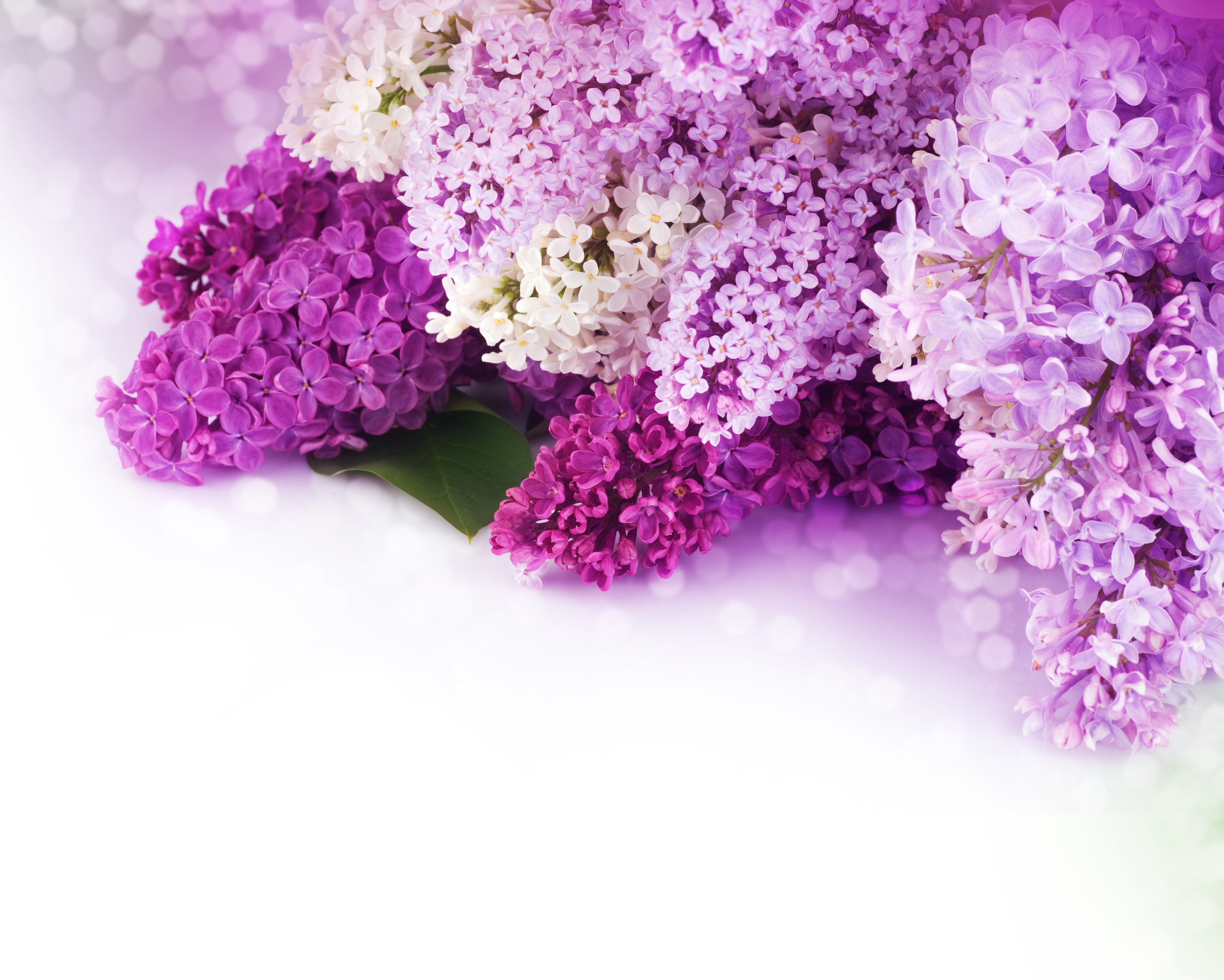 Pink Lilac Flower Flowers Spring Shrub Plant Background Image For