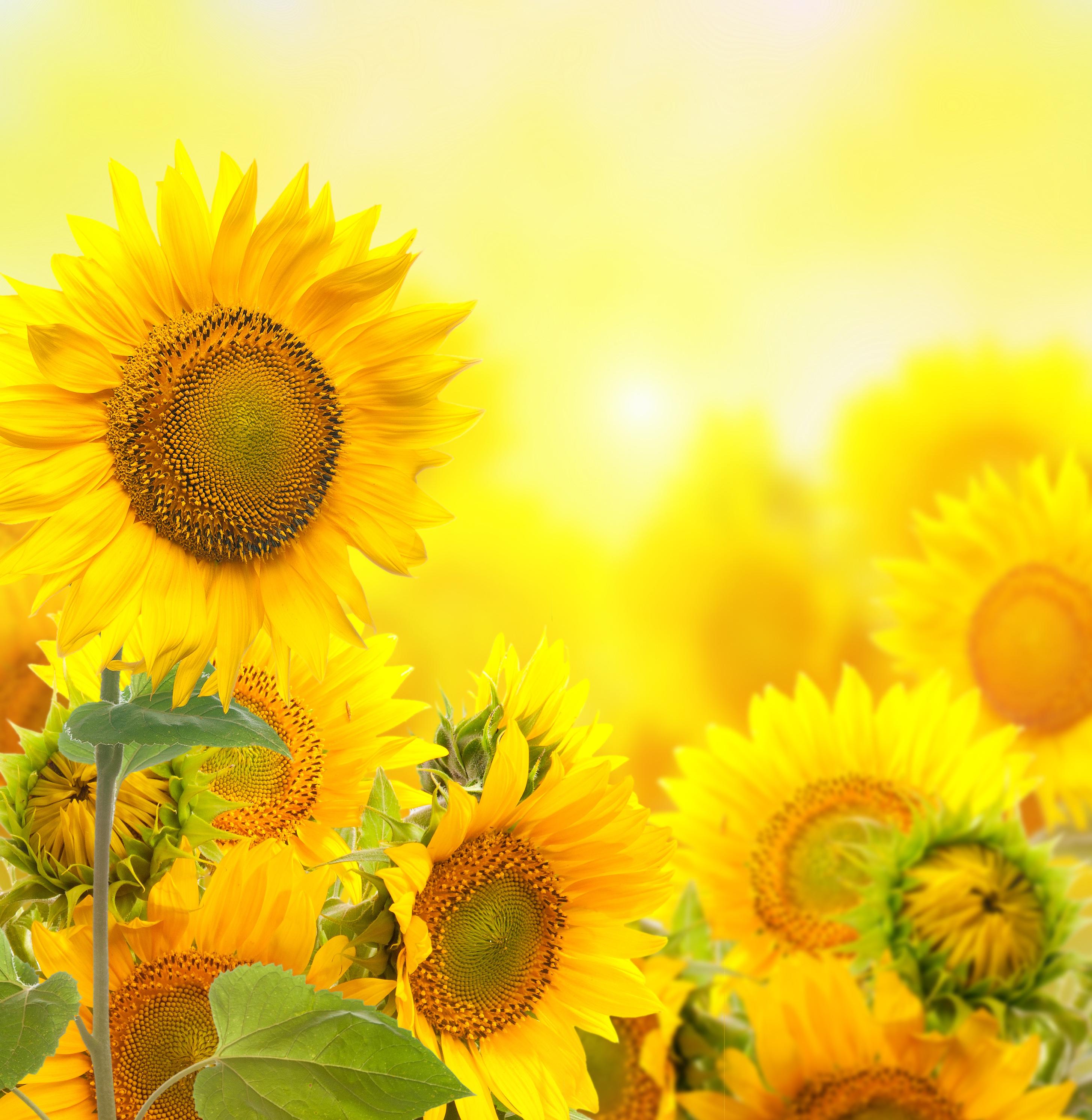 esth u00e9tique de fond jaune tournesol  le champ de fleurs de