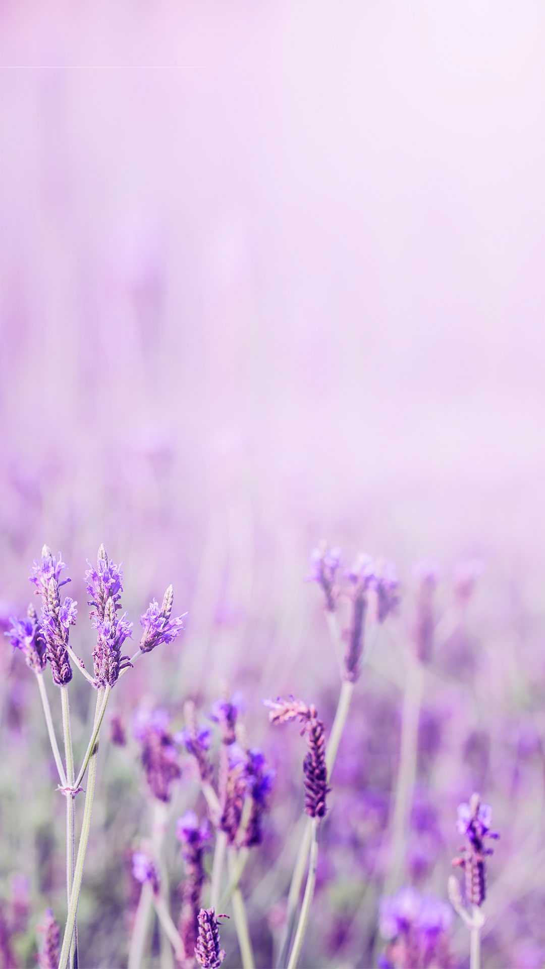 lavender purple aesthetic flower message h5 background