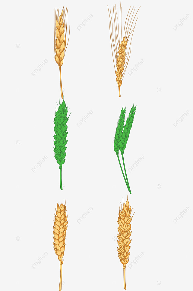 Golden Wheat, Wheat, Ripe Wheat, Ripe PNG Image and ...