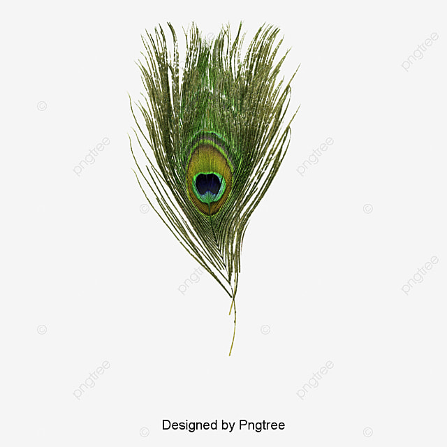 Peacock Feather Png Vectors Psd And Clipart For Free Download