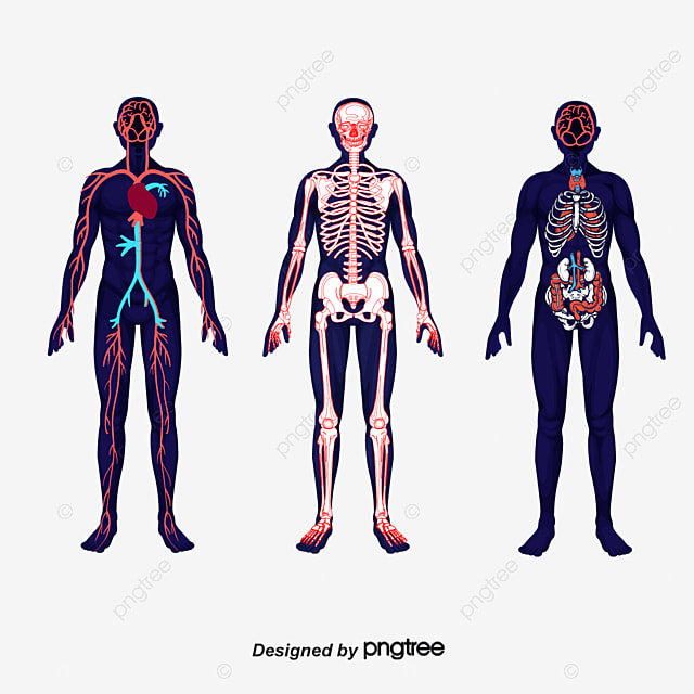 body meridians body vector human body meridian png and vector with transparent background for free download body vector human body meridian png