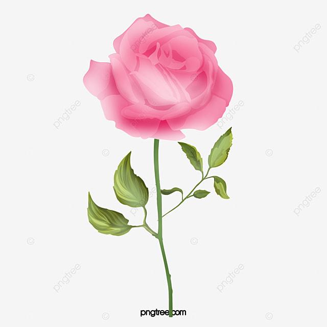Aquarelle Et Delicate Rose Rose Rose Aquarelle Delicate Rose Image