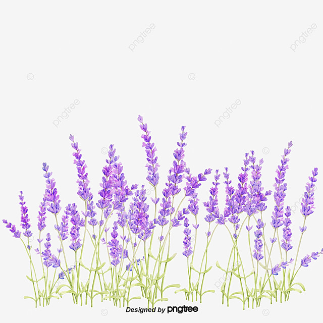 Lavender Background Purple Flower Material Lavender