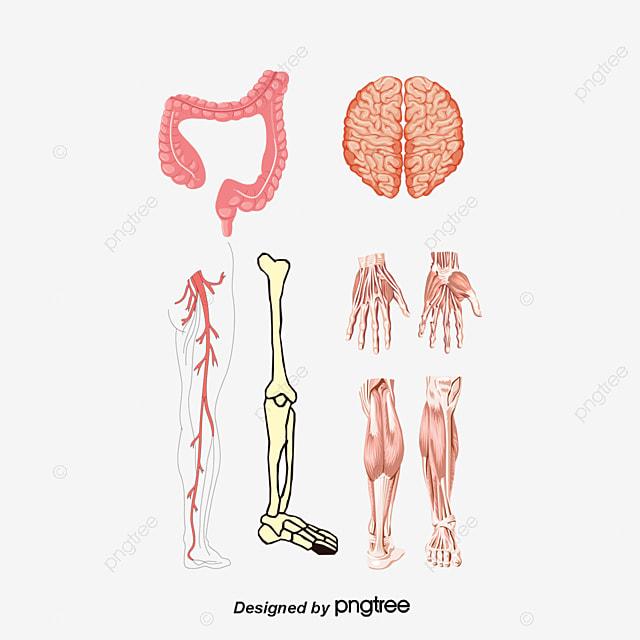 Der Strukturen Im Inneren Des Körpers Der Menschliche Körper ...