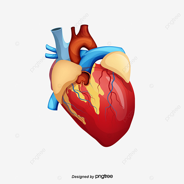 Human Heart Creative Human Heart Heart Ecg Png And Psd File For