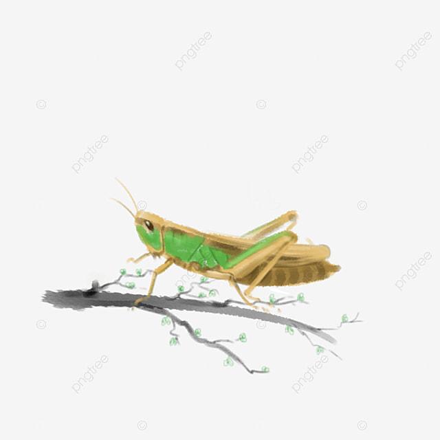 La sauterelle les insectes des