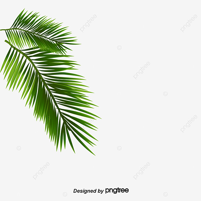 Palmera Png Trachycarpus Fortunei Chinese Windmill Palm Fondos