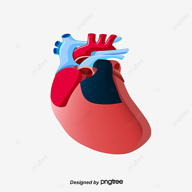 Vector Human Internal Organ Structure Heart Organ Anatomy Figure
