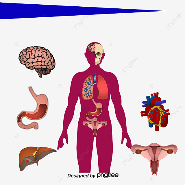 structure of human body systems Anatomy & physiology the anatomy and physiology module introduces the structure and function of the human body you will read about the cells, tissues and membranes that make up our bodies and how our major systems.