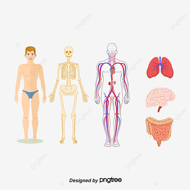 vector human skeleton skeleton human body cartoon skeleton png transparent clipart image and psd file for free download vector human skeleton skeleton human