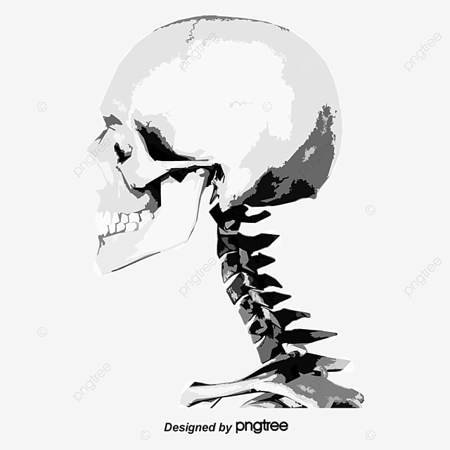 Vector Human Skeleton Chest Shape Thoracic Cavity Png And Vector