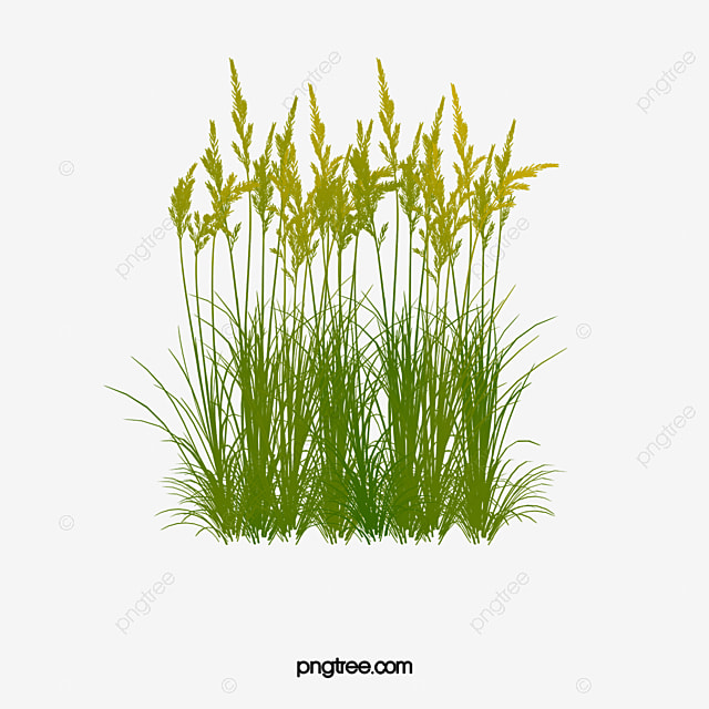 Reed Aquatic Plant Grass Png Transparent Clipart Image And Psd File For Free Download