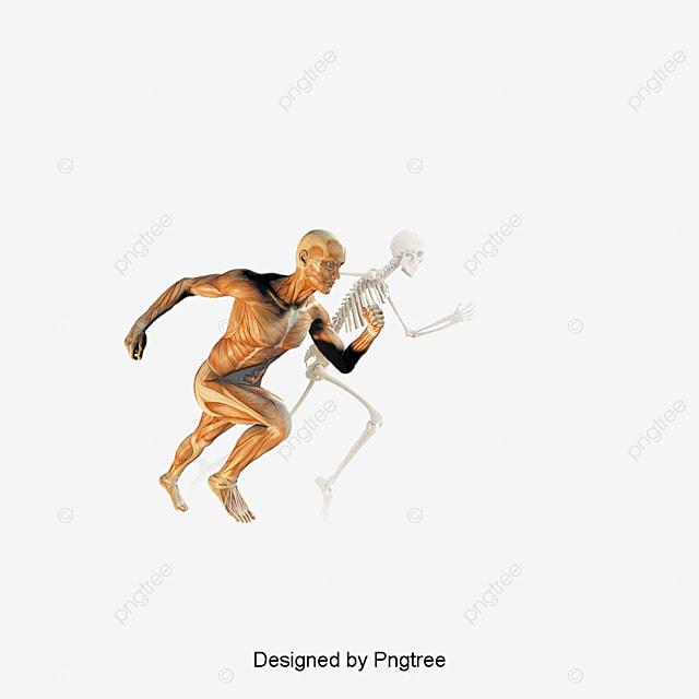 Anatomía Muscular Humano, Modelo De Movimiento, Anatomia Humana ...