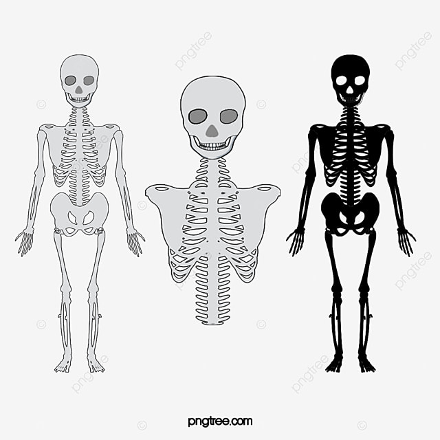 le mod u00e8le de corps humain le corps humain mod u00e8le cr u00e2ne png