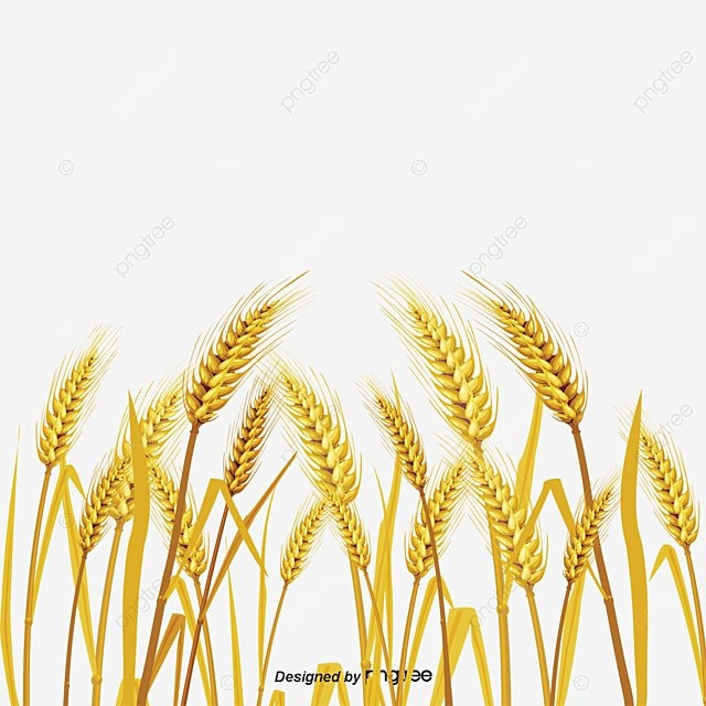 Wheat Fall Golden Wheat Field Food Crops Png And Psd