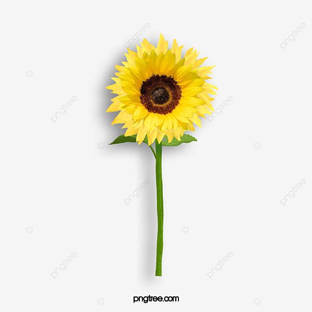un tournesol tournesol jaune le soleil image png pour le