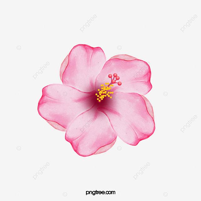 o hibiscus cor de rosa flor de hibisco a flor cor de rosa