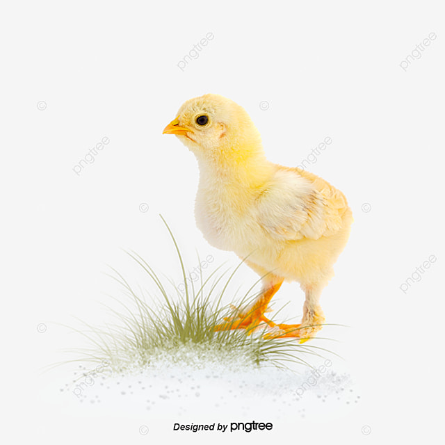 chickens, Small Penis, Poultry, Yellow Chick PNG and PSD
