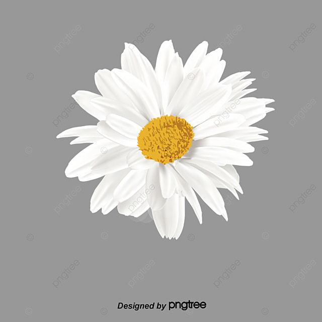 White Daisies, Product Kind, White Flowers, Daisy PNG ... White Daisy Flowers Clipart