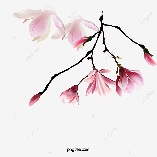 Magnolia Flowers Flower Flowers Png Free Download Png Transparent