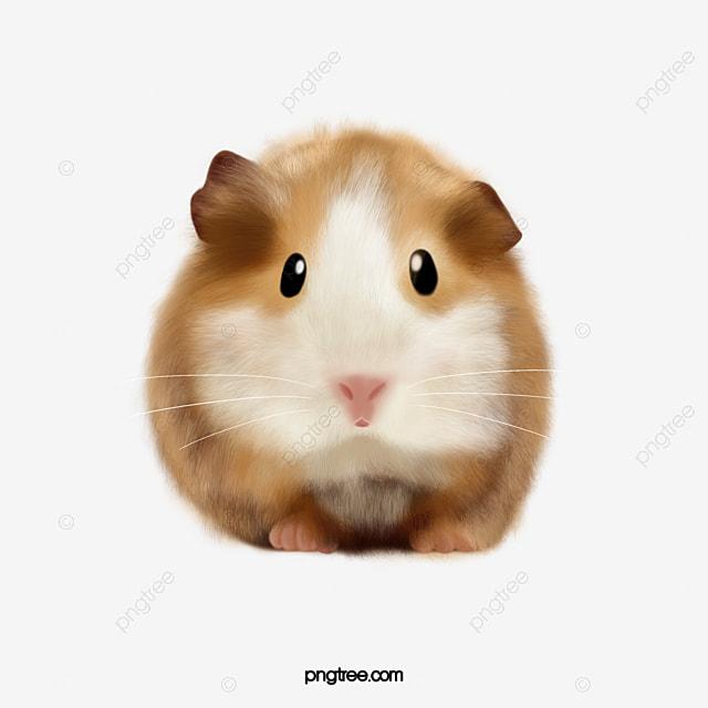 Hamster Dễ Thương Màu Vàng Bụng Trắng Chuột Hình Ảnh Và Hình Ảnh Png