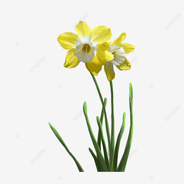 Los Narcisos Amarillos Narcisos Los Narcisos Amarillos Flores Imagen - Narcisos-amarillos