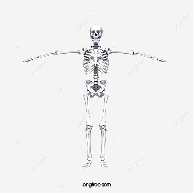 Human Skeleton Frame Human Skeleton Skeleton Human Body Png Image