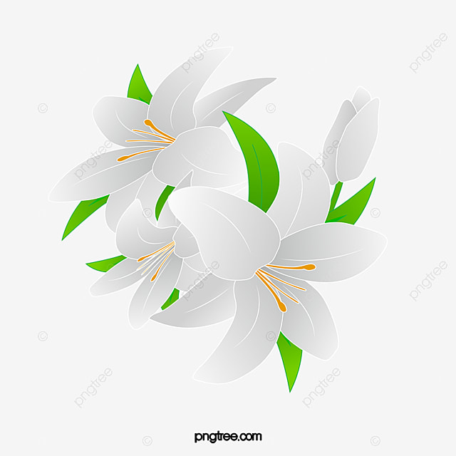 A lily, Lily, White Flower, Flower PNG Image for Free Download