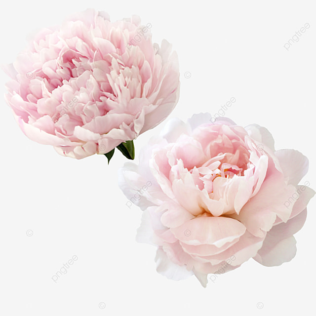 Peony Png Vectors Psd And Clipart For Free Download Pngtree