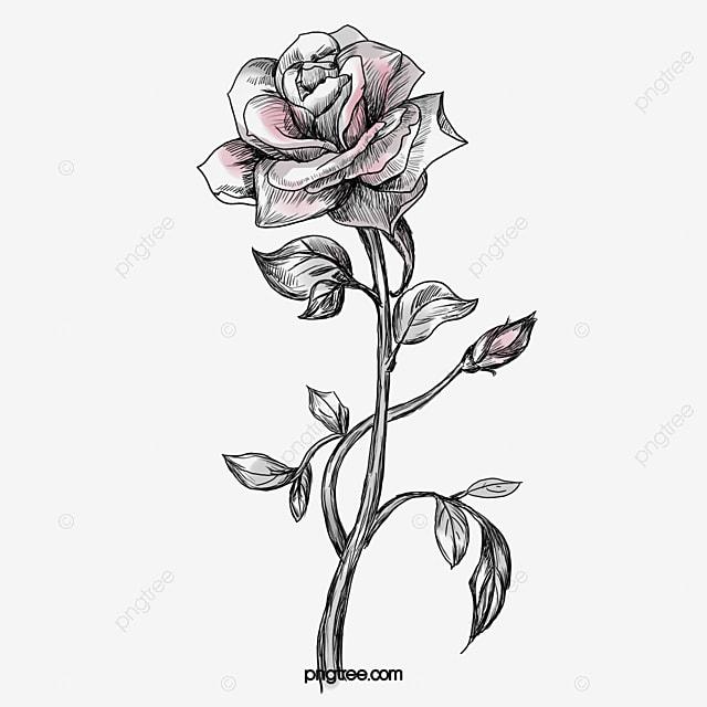 desenho de rosa pintado de rosa rosa flores png imagem para download