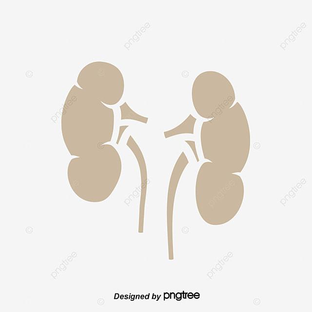Kidney Vector Material Kidney Creative Kidney Vector