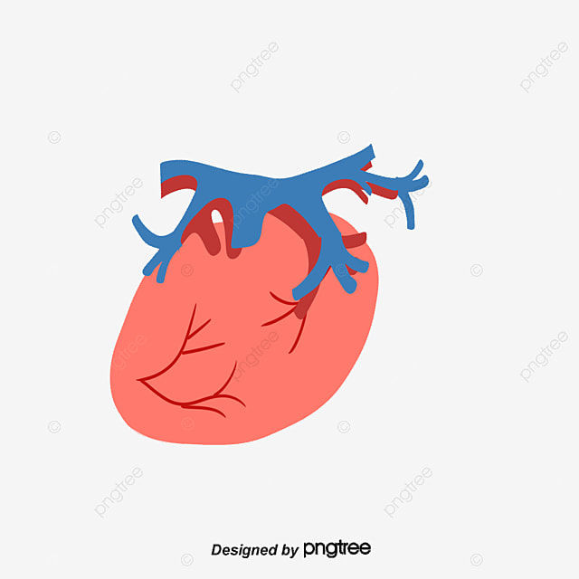 Human Blood Circulatory System Human Body Blood Circulatory