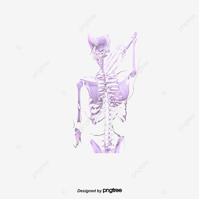 Human Lumbar Vertebrae Inflammation Arthritis Lumbar Spine Human