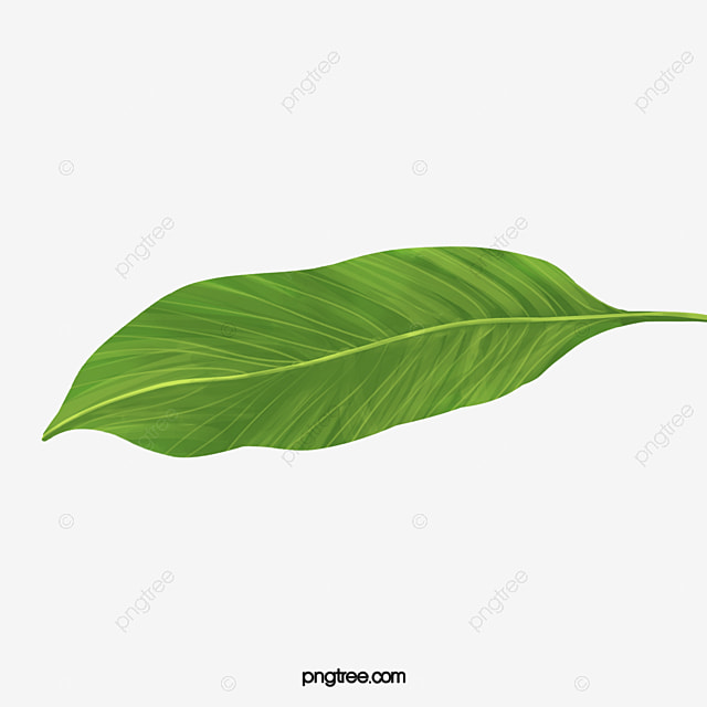 Tropical Banana Leaves In Kind Leaf Wallpaper Plant PNG Image And Clipart