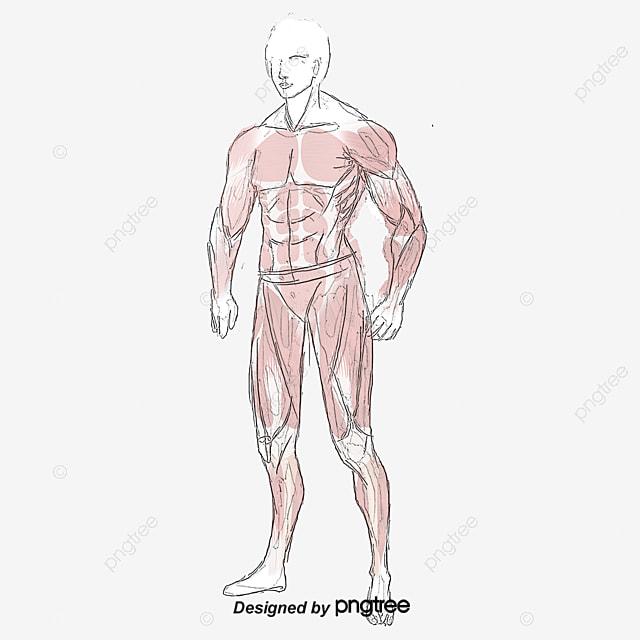 Cuerpo De Estructura Muscular Abdominal, Chaleco Linea, Sit Ups ...