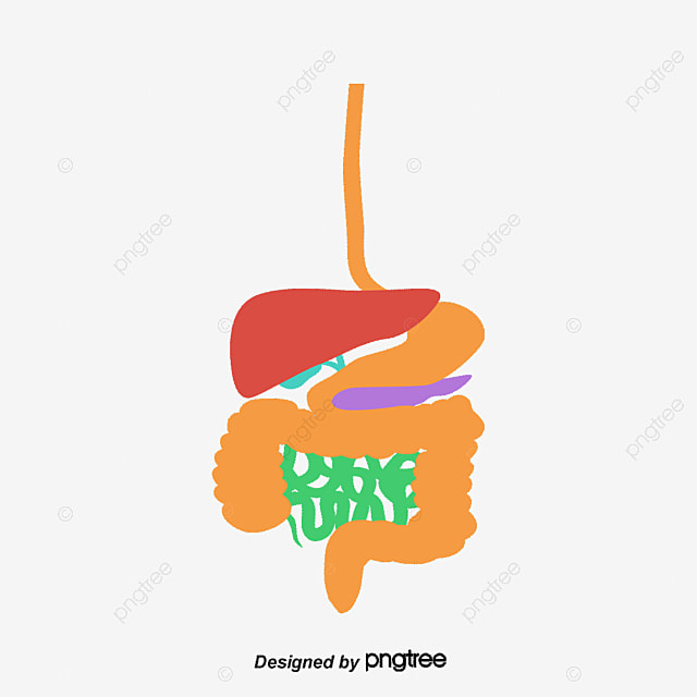 color digestion system free png and vector