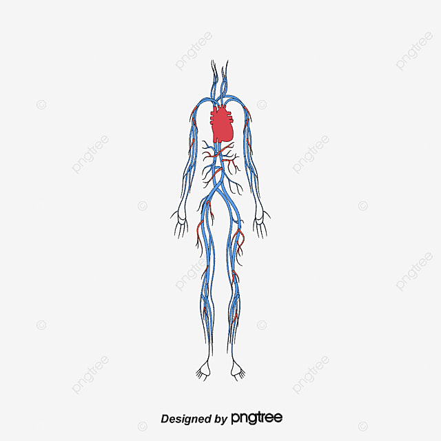 Human Blood Circulation System Human Body Circulatory System