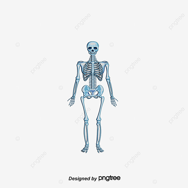 Human Skeletal Structure, Human Body, Human Skeleton, Body Structure ...