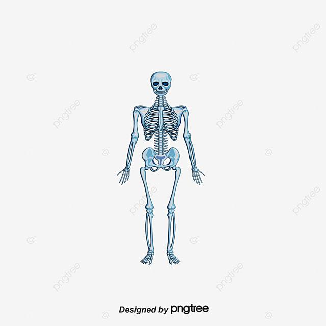 Esqueleto Humano, Cuerpo Humano, Esqueleto Humano, La Estructura Del ...