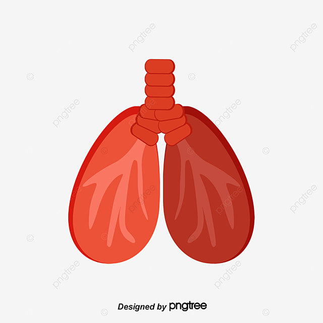 Vector Lungs Organ Human Body Lung Png And Vector For Free Download